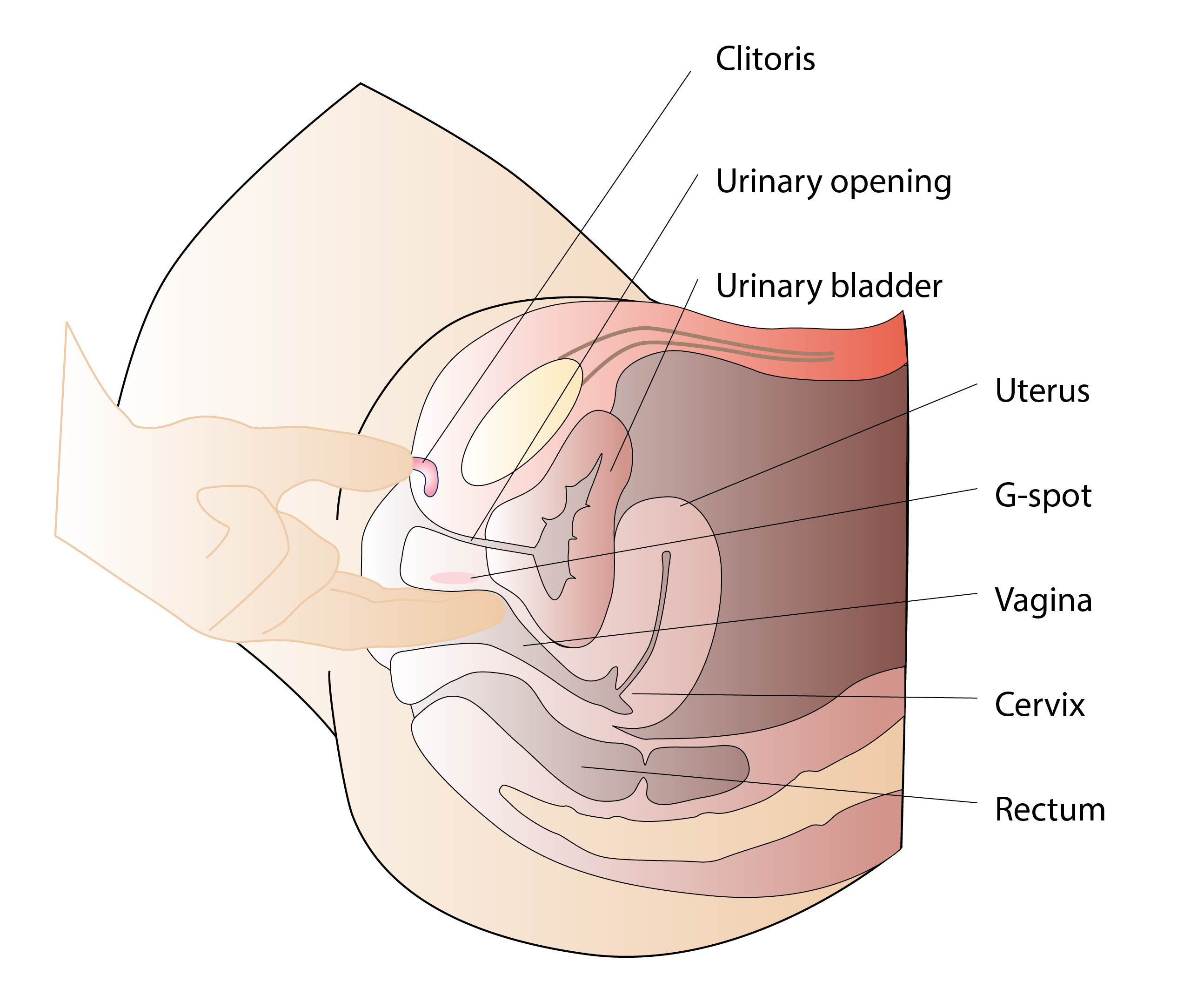 Join anatomy female vagina that interfere